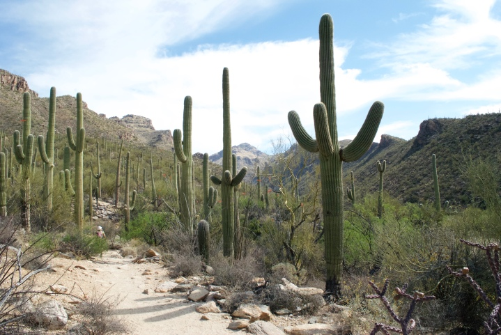 In Sabino Canyon, Majesty of the Saguaros - DSC_0090