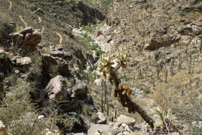 Teddybear Cholla in Bear Canyon - DSC_0108